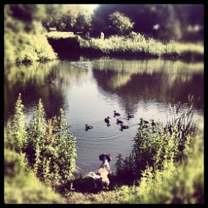 Daisy chasing ducks