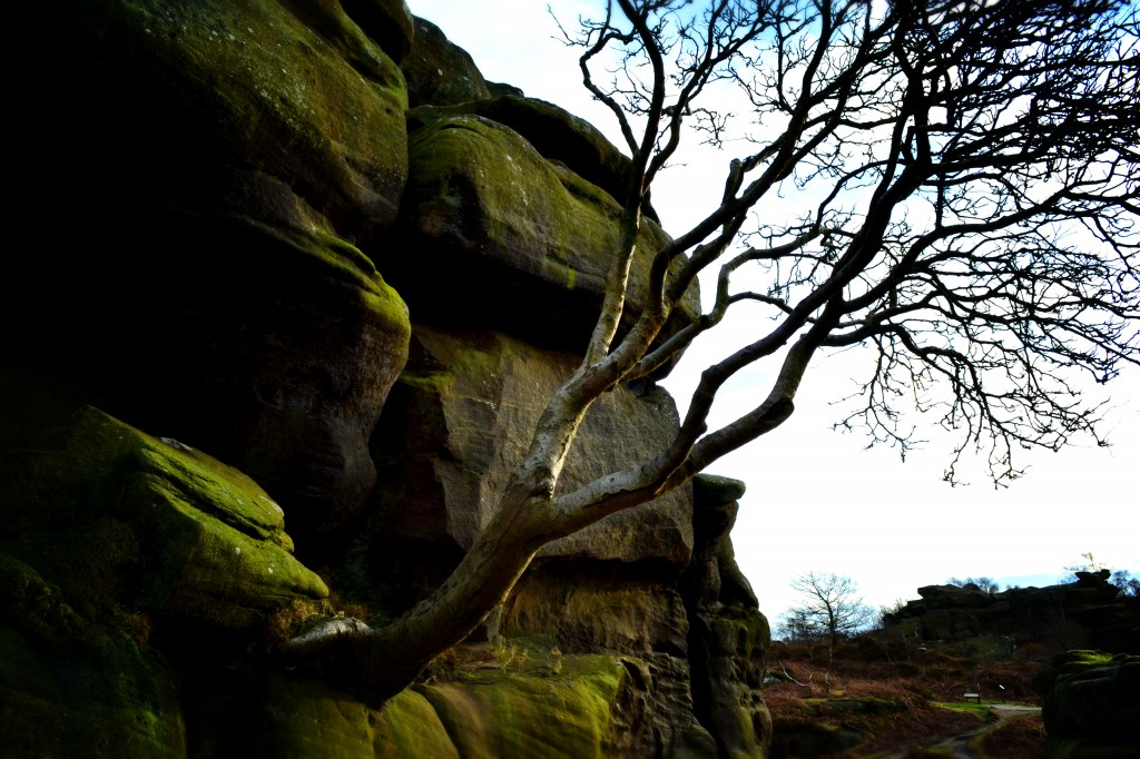 Brimham Rocks tree
