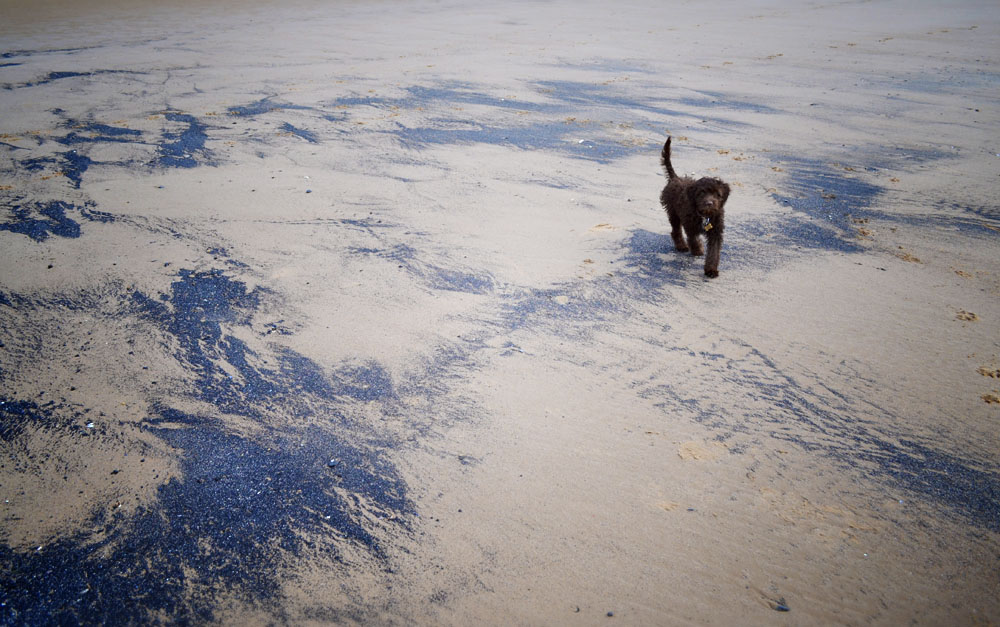 Sproodle puppy at the beach